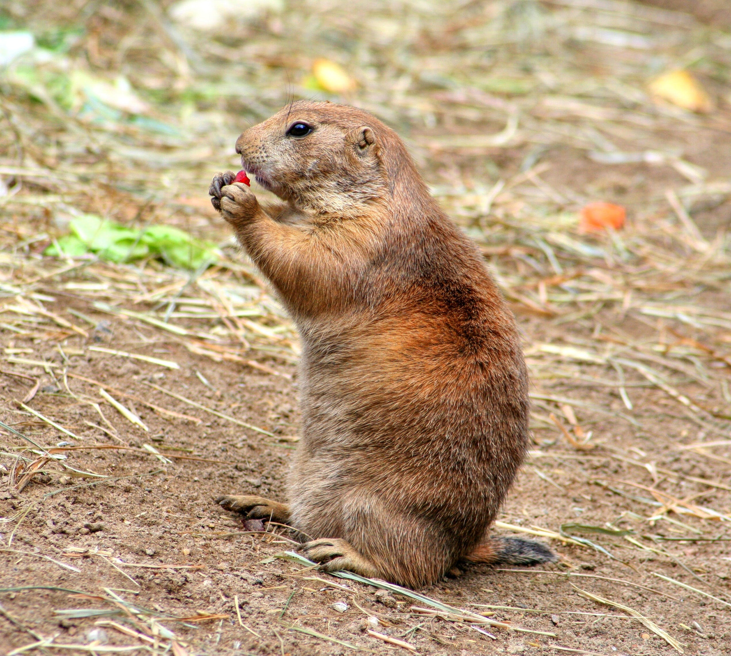 Brown and Gray Prairie Dog