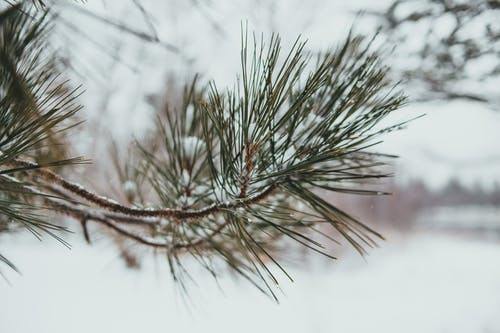 Spruce sprigs covered with green needles in winter forest near snowy ground in daylight