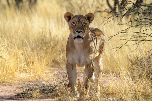 Immagine gratuita di africa, animale, cespuglio