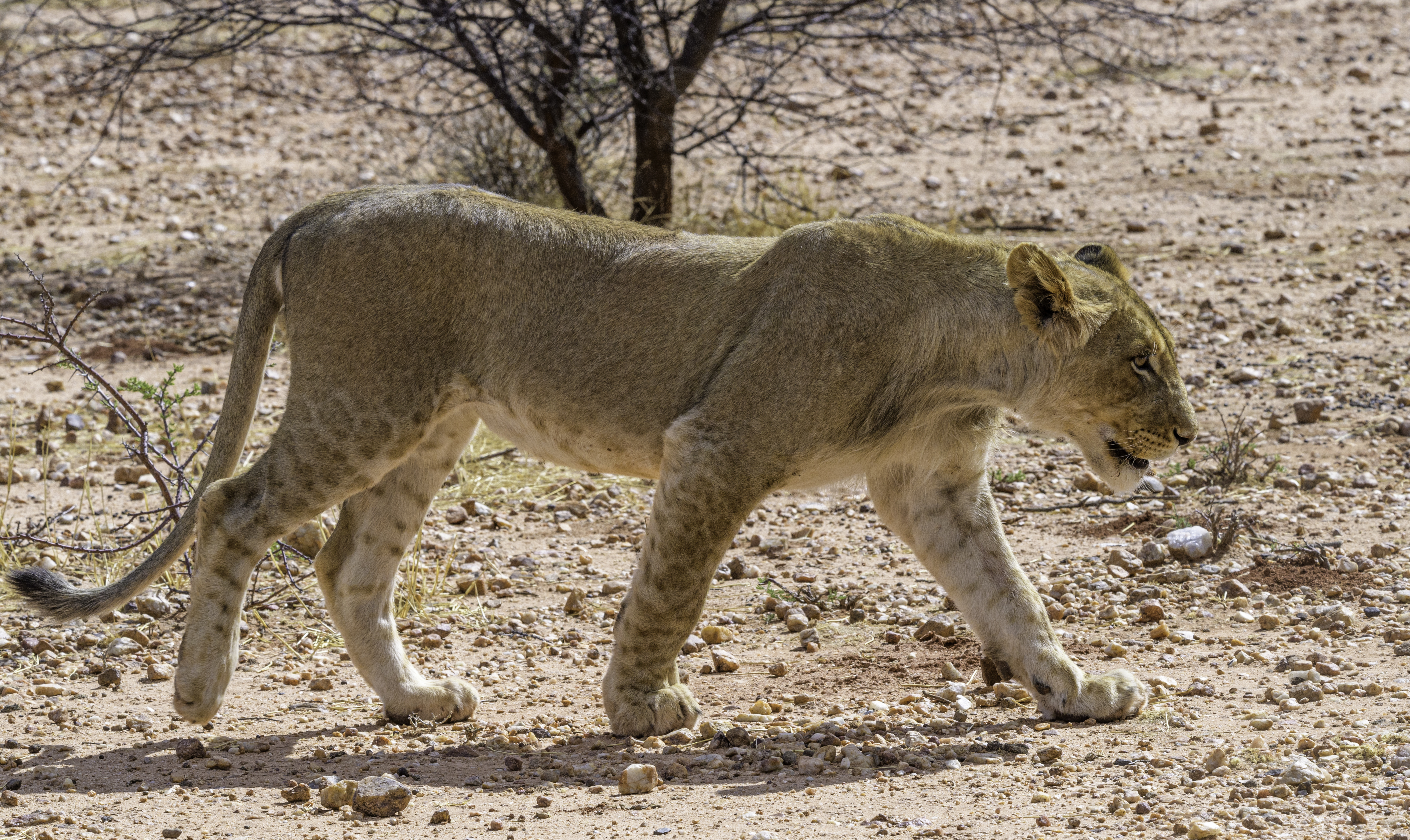animal big fur dangerous