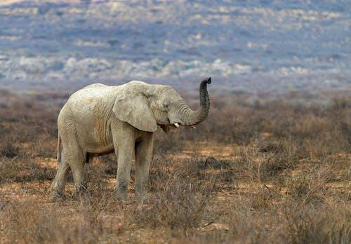 Wild Elephant Raising Trunk