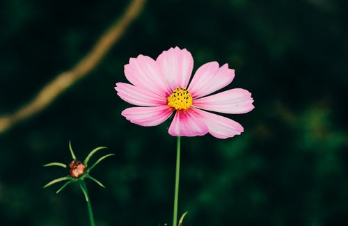 Blooming pink flower on thin stem