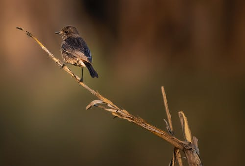 Small Indian chat bird on dry branch