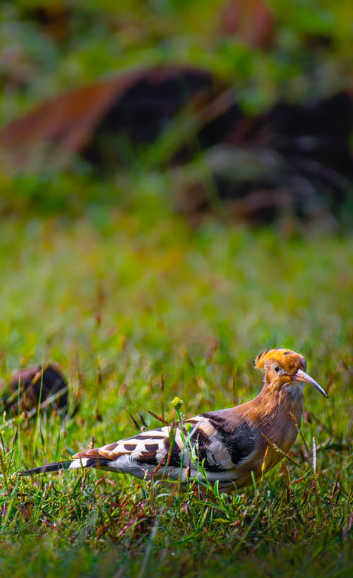 Side view of wild hoopoe with orange crest on head standing on green grass