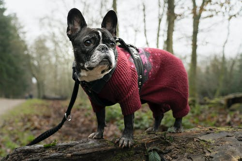 A Dog Wearing Clothes