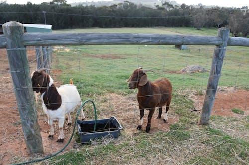 Free stock photo of farm, goats