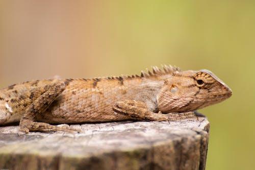 Dragon Barbu Brun Et Blanc Sur Une Surface En Bois Marron