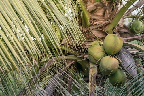 Fruit De Noix De Coco Verte Sur Une Branche D'arbre