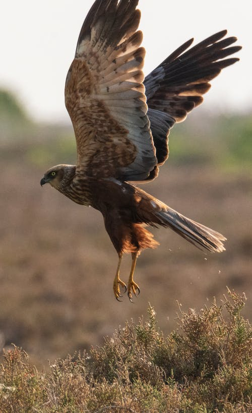 Close Up Shot of a Falcon