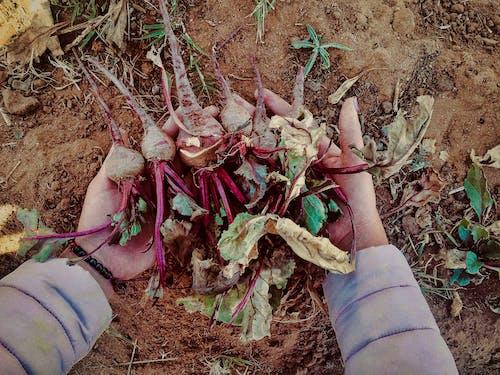 Fotos de stock gratuitas de agricultura, crecer, las remolachas