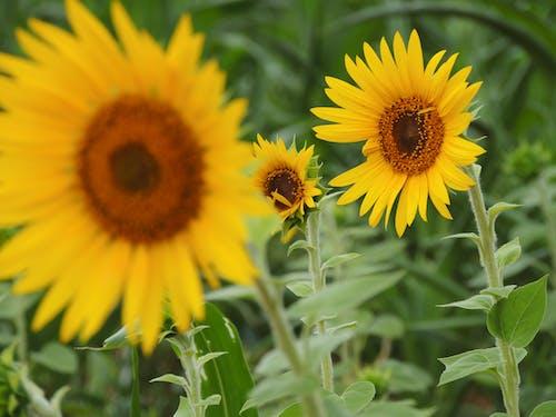 Sun Flower In Tilt Shift Lens