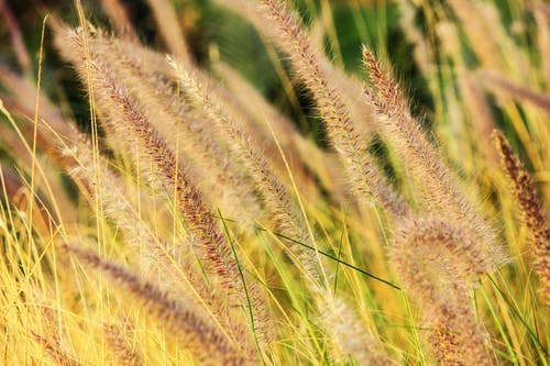 Hay Grass