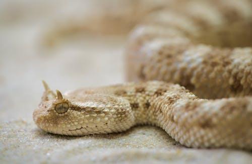 Photos gratuites de animal, gros plan, serpent, vipère cornue