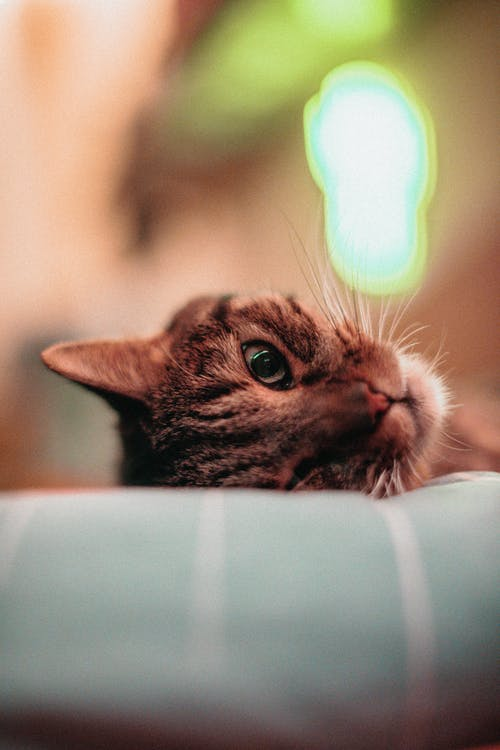 Cute curious cat lying on cozy pillow and looking at camera with interest against blurred room background