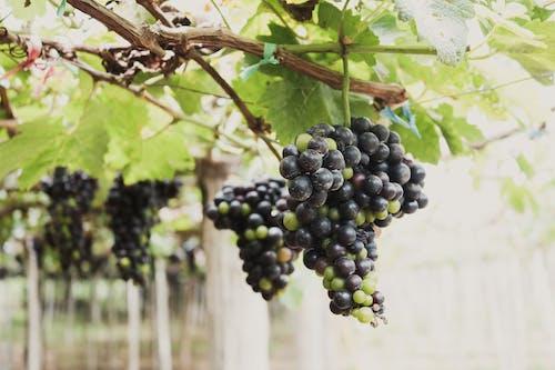 Безкоштовне стокове фото на тему «loifotos, В'єтнам, винний завод, вино»