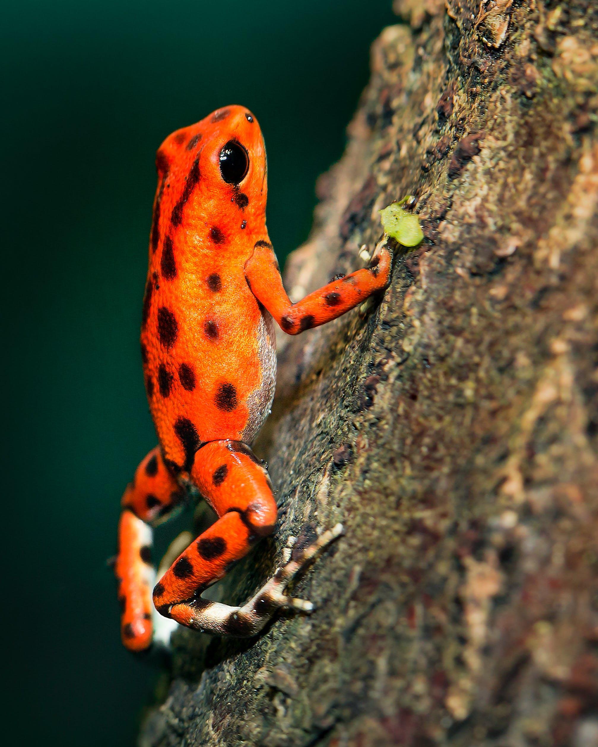 Orange and Black Poison Darth Frog