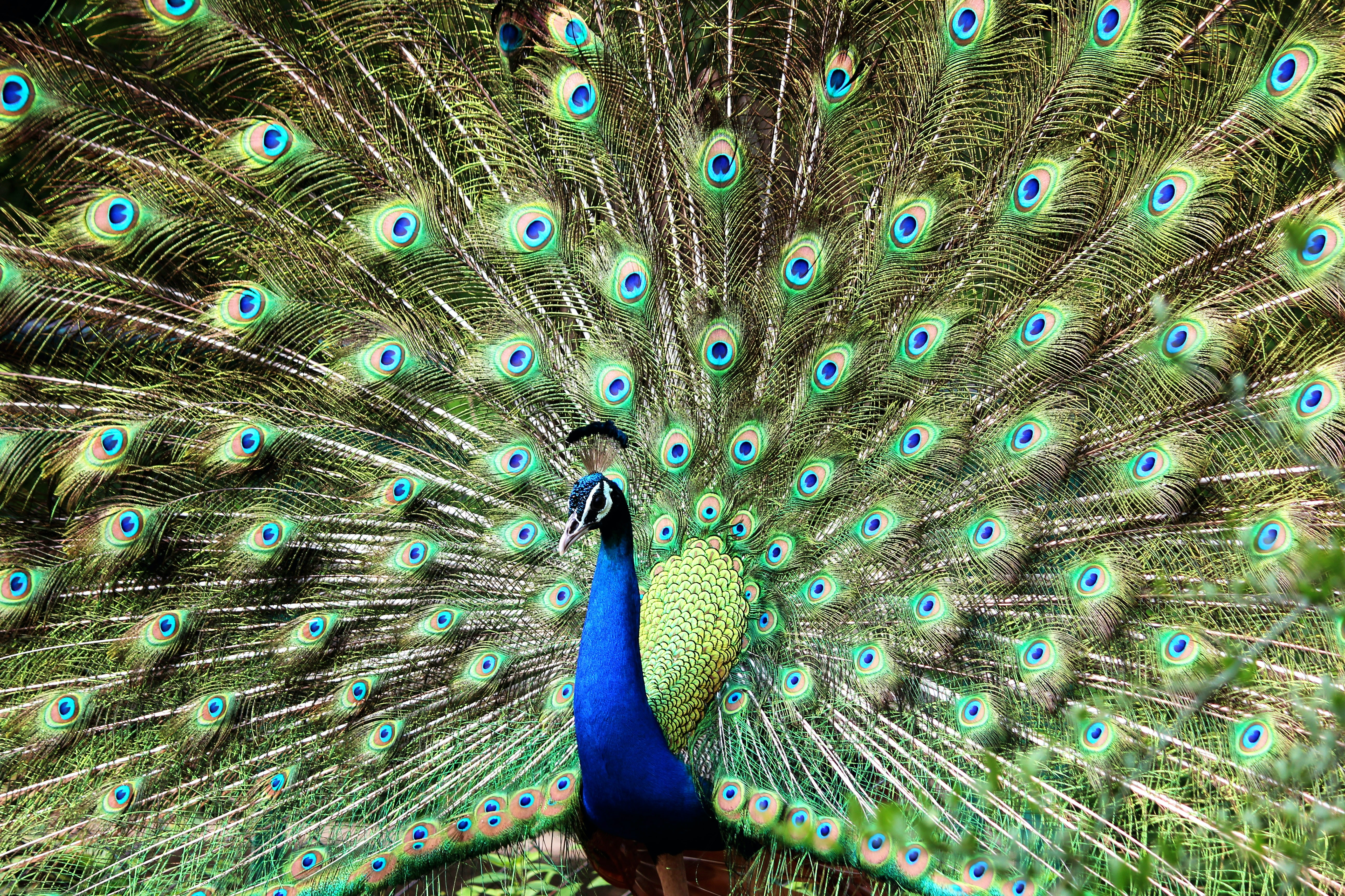 Blue and Green Peacock · Free Stock Photo - photo#34