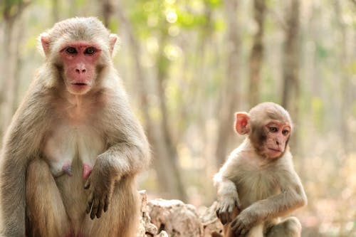 A Close-Up Shot of Rhesus Macaque Monkeys