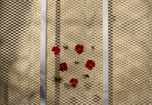 Fresh red delicate flowers attached to metal chain link fence on sunny day