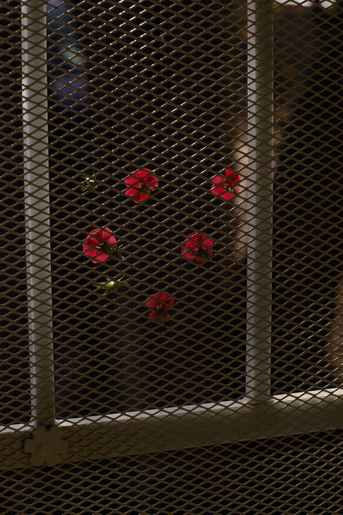 Delicate red small flowers growing in garden near chain link fence at night