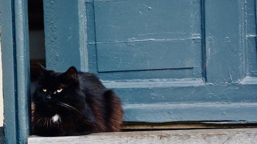 Free stock photo of animal, black, cat
