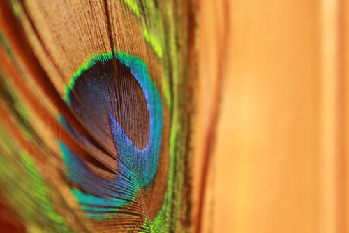 Green Blue and Brown Peacock Feather