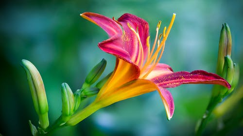 Pink and Yellow Lily Flower in Closeup Photo