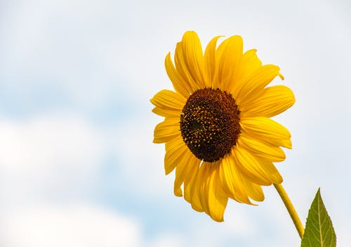 Delicate sunflower against cloudy blue sky