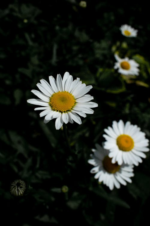 Free stock photo of blooming, bright, chamomile