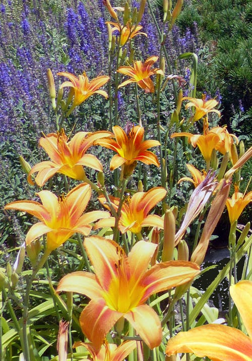 Orange Daylily Flowers in Bloom