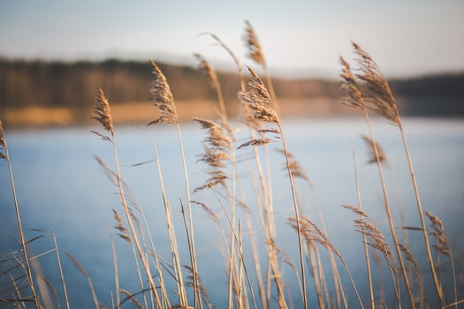 Dried grass near the lake