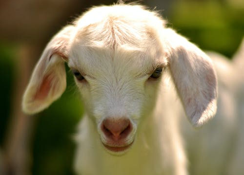 Cute purebred goat cub standing in farm on sunny day