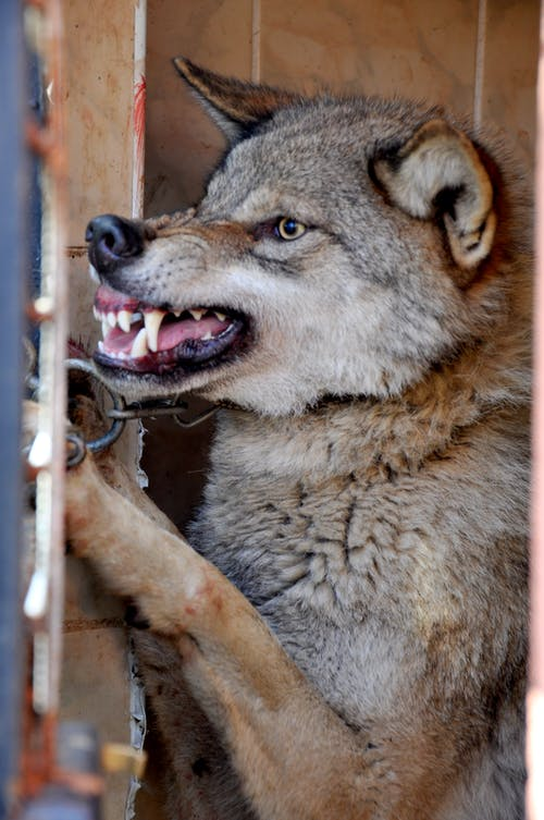 Angry wolf growling while standing in cage