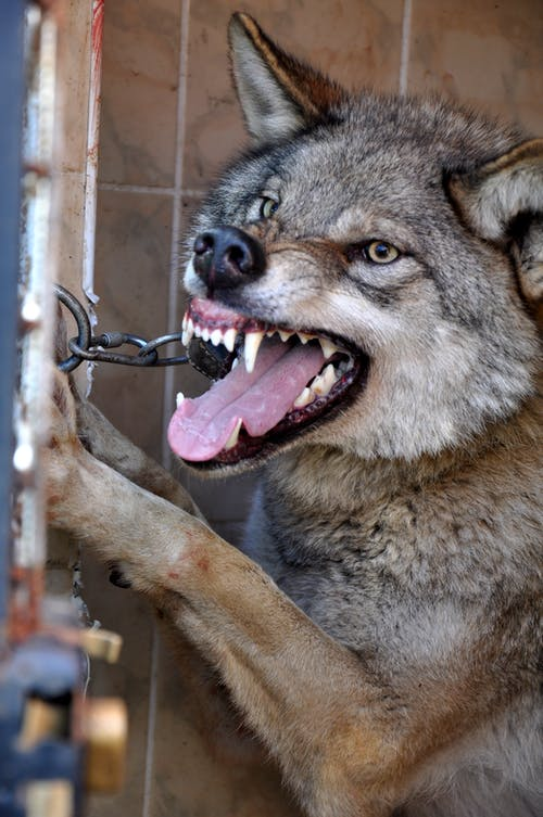 Aggressive wolf standing in enclosure in zoo