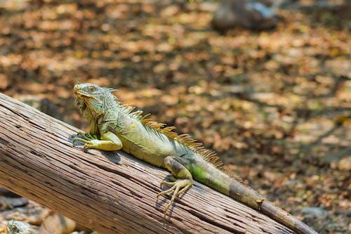 Close-Up Shot of an Iguana on a Wood