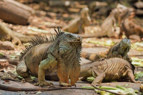 Close-Up Shot of Iguanas