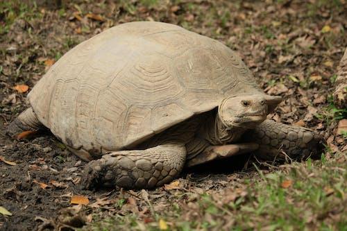 Close-Up Shot of an African Desert Turtle