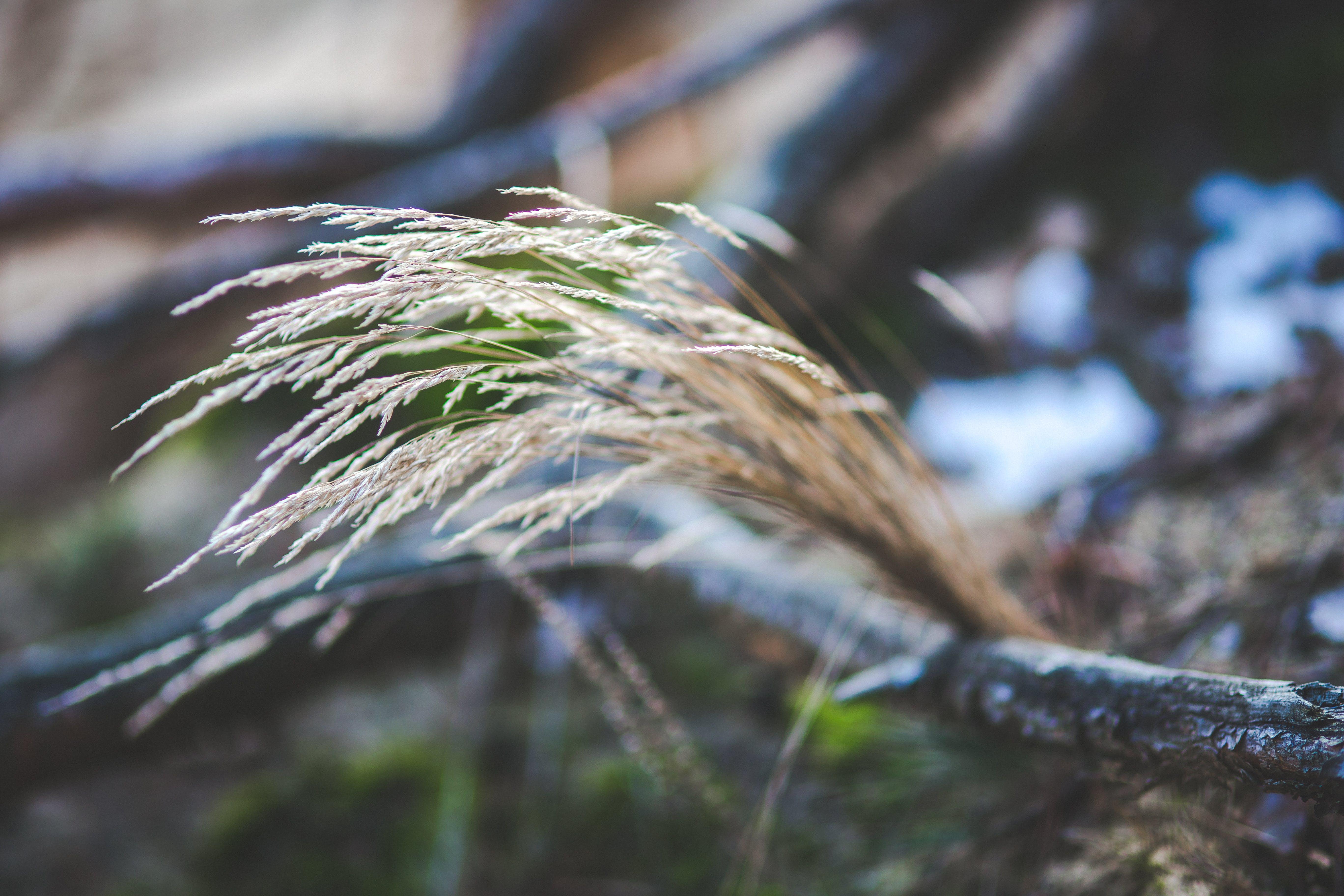 Closeup view of long dry grass / Depth of Field