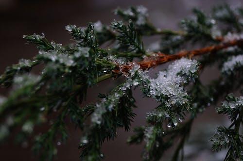 Kostenloses Stock Foto zu äste, geäst, kalt, nadelbaum
