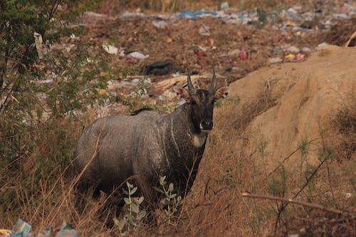 Free stock photo of antelope, big animal, boselaphus tragocamelus