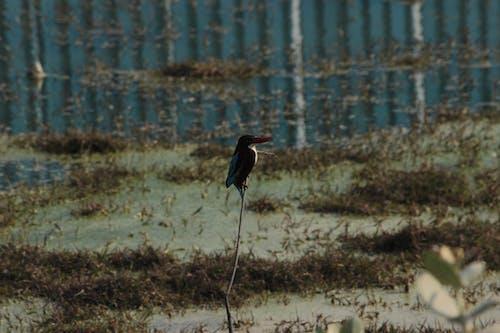 Free stock photo of blue waters, grass, white throat kingfisher