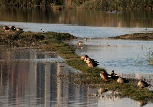 Free stock photo of ducks, goose, water