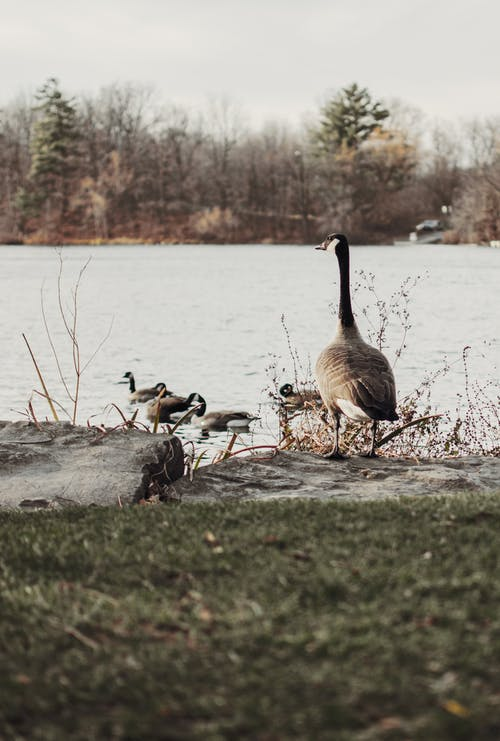Geese on Lakeside