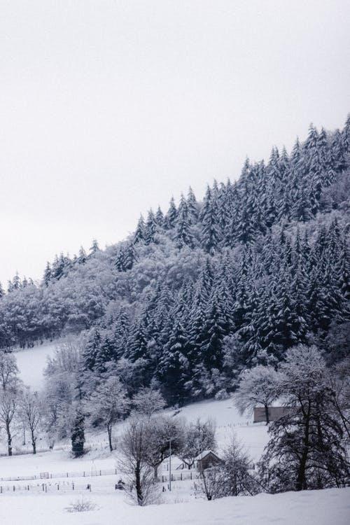 Snowy fir forest growing on mountain slope on cloudy day