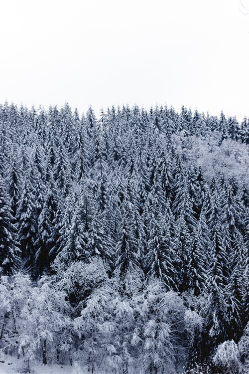 Snowy firs growing in forest in mountainous valley on cloudy winter day