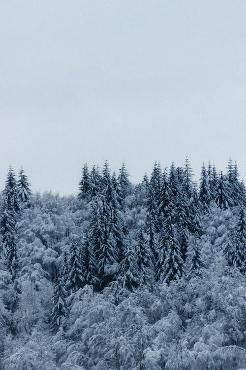 คลังภาพถ่ายฟรี ของ คริสต์มาส, ต้นสน, ต้นไม้, น้ำค้างแข็ง