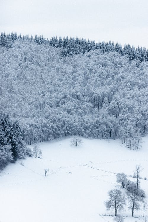 Snowy coniferous trees on land in winter