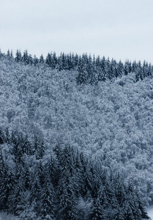 Picturesque view of lush fir trees with snow growing in woods under white sky in winter