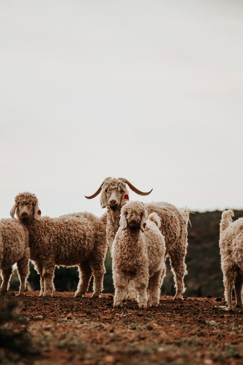 Flock of white sheep standing on dry field against cloudy sky in countryside