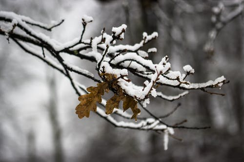 Withered leaf on thin sprig of tree covered with snow growing in woods on cold winter day against blurred background